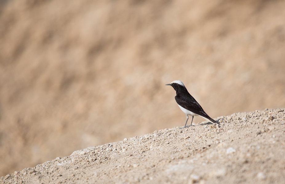 Путешествие по пустыням Израиля: птицы в пустыне