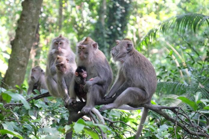 For any true animal lover, a visit to Bali would be incomplete without a trip to the sacred monkey forest in Ubud. Image: https://www.facebook.com/MonkeyForestUbud/
