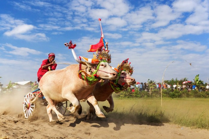 This adrenaline-fuelled sports event is the Olympics of buffalo racing. Image: www.vacanzeabali.it/blog/corsa-dei-bufali-bali-makepung