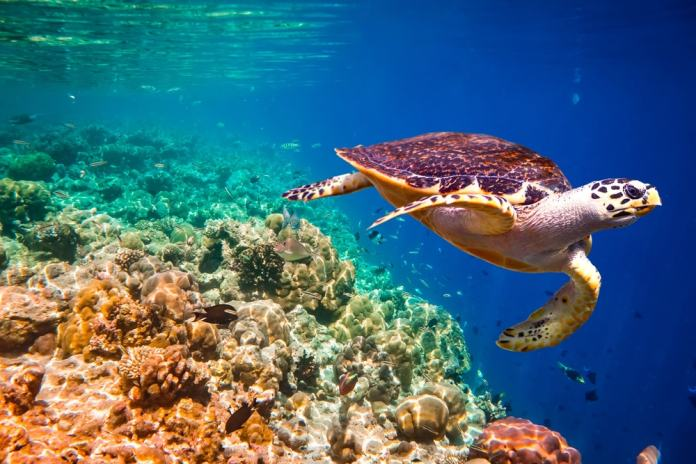 Aren't Hawksbill Turtles incredibly beautiful?
