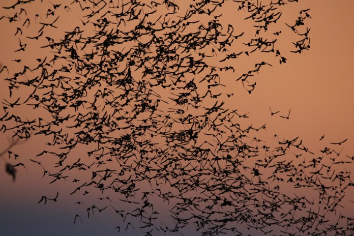 "Nightly bat flights are one of the best ""shows"" to admire in Thailand this summer :)"