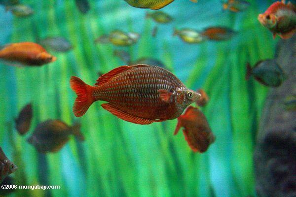 Adult Red Rainbowfish (Glossolepis incisus)