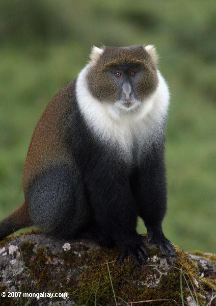 Sykes's Monkey, Cercopithecus albogularis