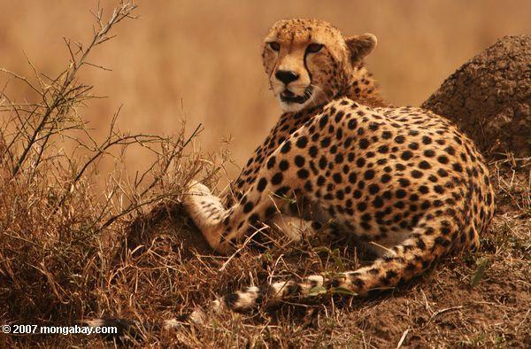 Cheetah in Kenya's Maasai Mara