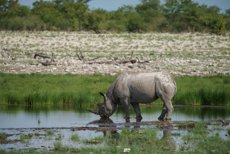 The Black Rhino, one of the most endangered species in the world, finds a safe sanctuary in Etosha National Park. Poaching has been almost non existent in Namibia for the last two decades.