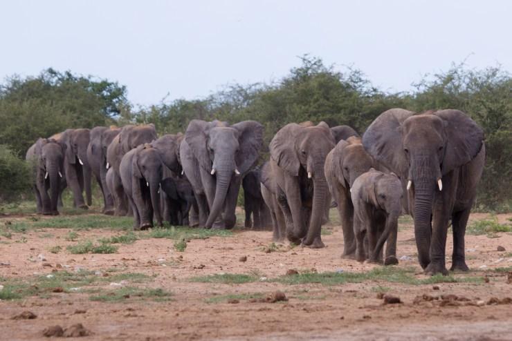 Namibia Etosha Elephants