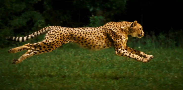 National Geographic Cheetahs On The Edge Slow Motion Main
