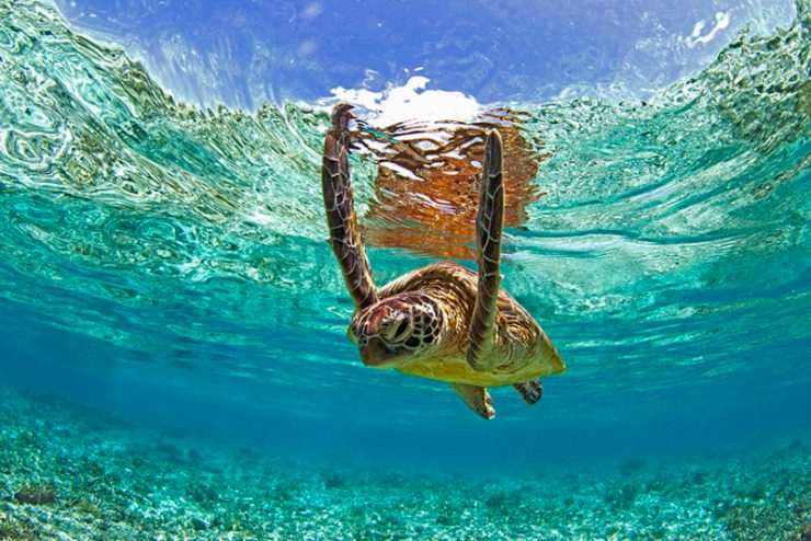 A sea turtle in swims in the crystal clear waters of