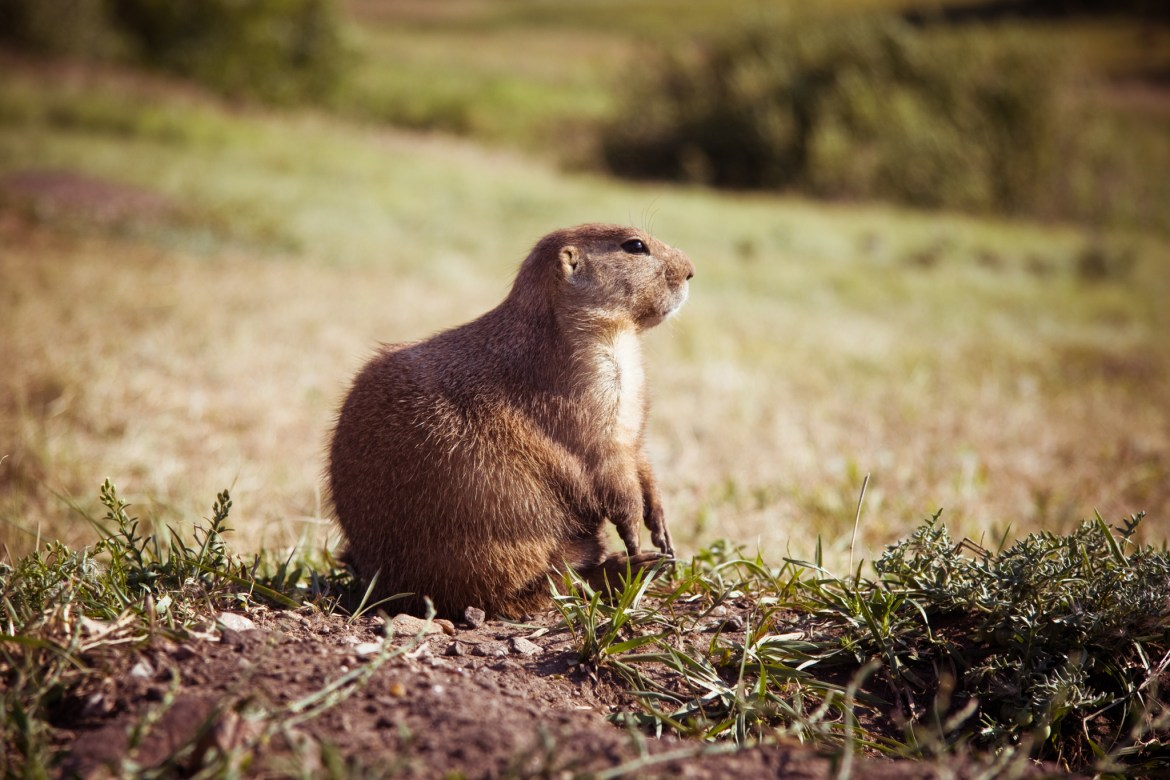 Even an adorable prairie dog is a potential threat as a possible carrier of the bubonic plague.