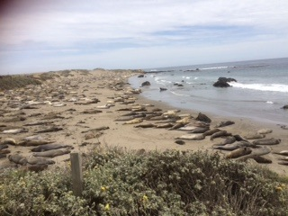 Seals bathing on the beach