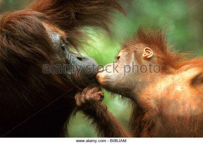 orang-utan-orangutan-pongo-pygmaeus-mother-and-child-cuddling-and-b0bjam
