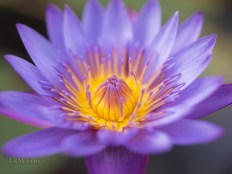 Water lily, Nymphaeaceae, water lilies, flower