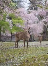 Deer in Nara Park among the cherry blossom. Nara, Japan