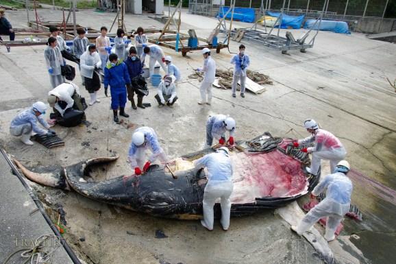 Dissection by Okinawa Churashima Research Center of young humpback whale that beached near Kadena, Okinawa, Japan. 19/02/2016