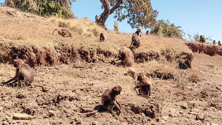 Monkeys in Ethiopia. Simien Mountains