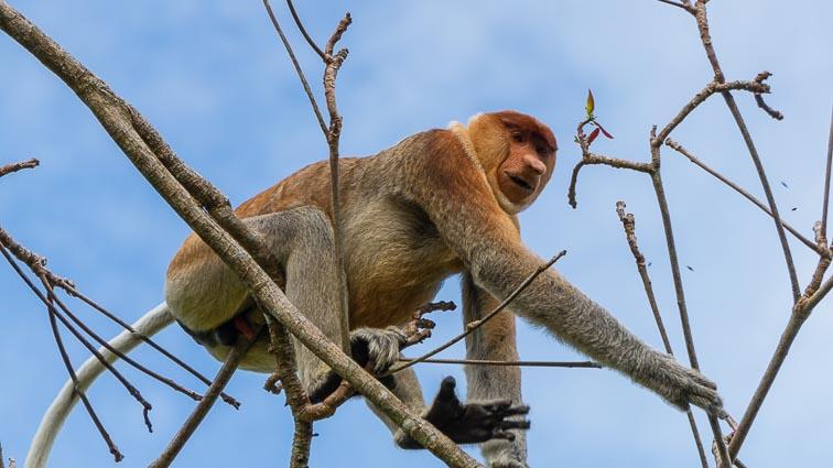 Proboscis monkey between the branches on Borneo