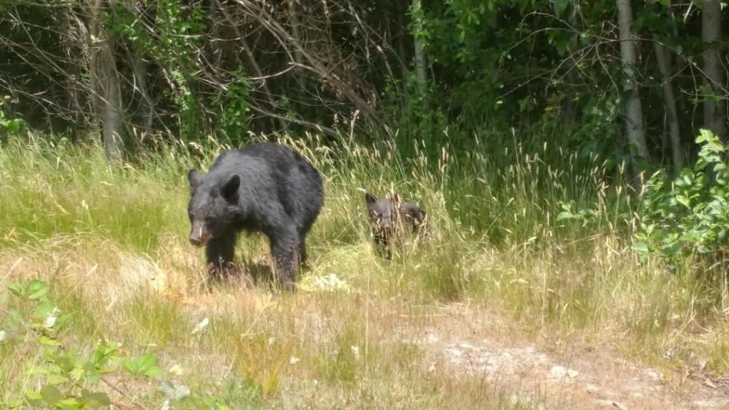 bears, wildlife