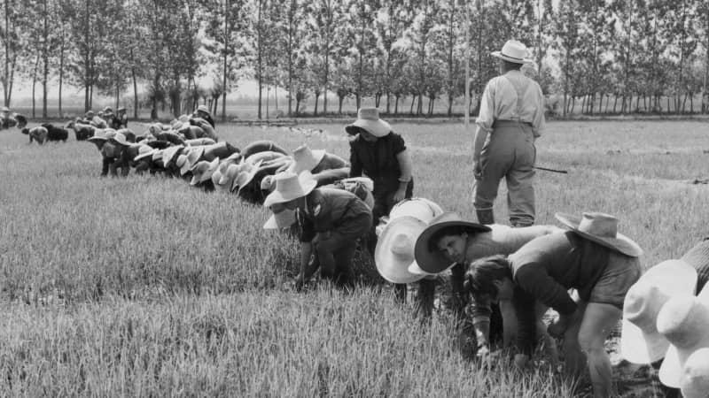 Mondine in the rice fields of Piedmont, circa 1920-1950.