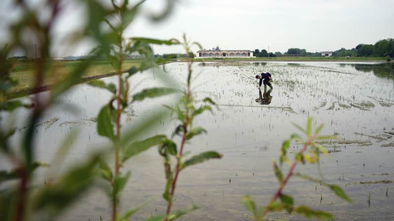 Italy is still Europe's biggest rice producer.