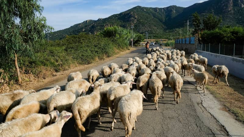 Casu marzu is made with sheeps' milk.