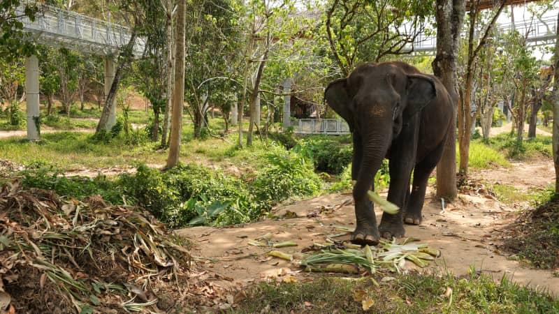 The Phuket Elephant Sanctuary has 12 retired work elephants.