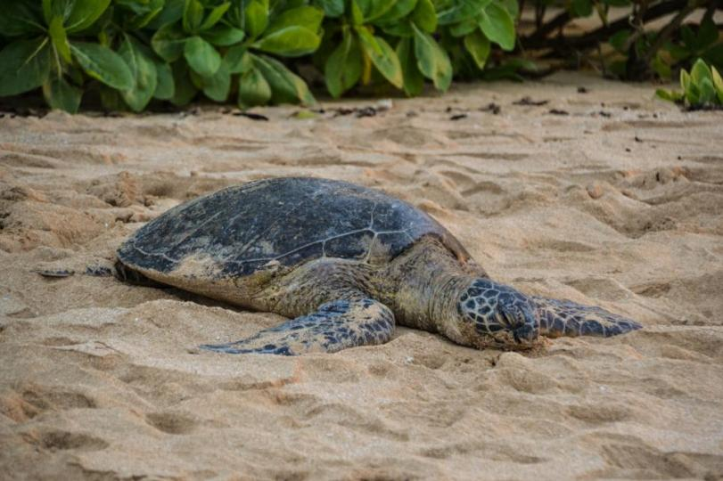Watch and Save Sea Turtles in North Shore