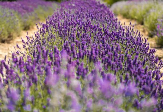 Mayfield Lavender Field | Ultimate Guide
