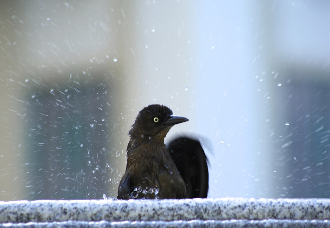 Grackle bathing header