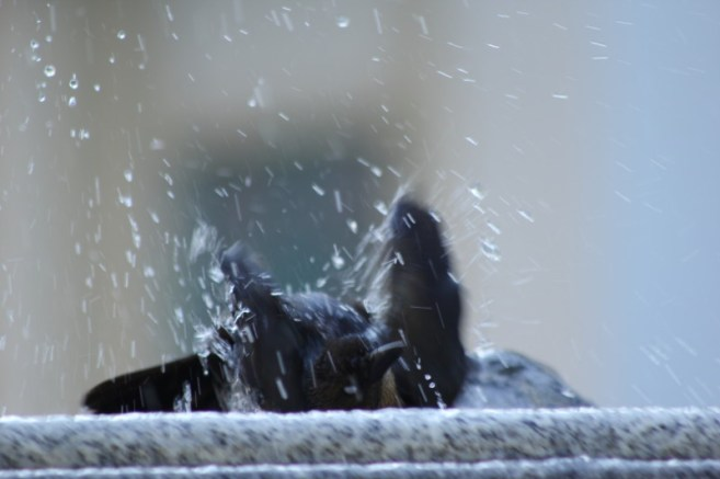 Female grackle bathing