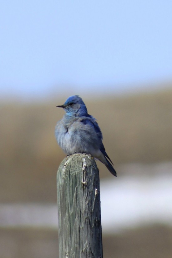 Blue bird Saskatchewan
