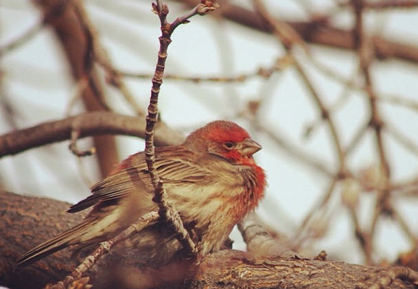 House finch header