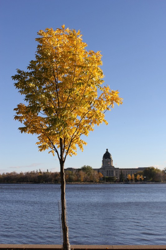Yellow tree at Wascana Park Jenn smith nelson
