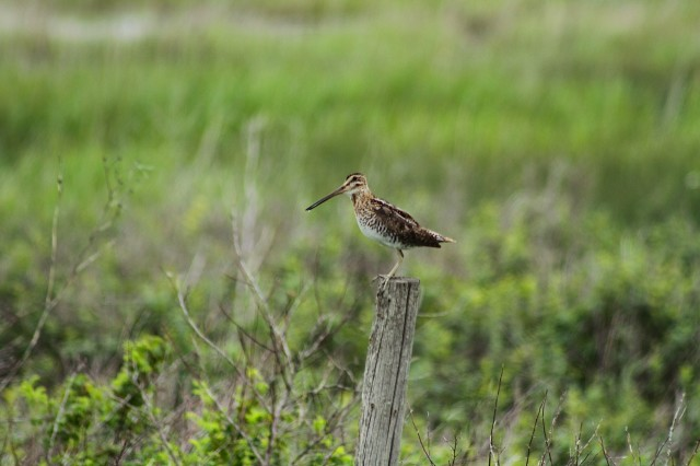 Wilson's Snipe on fence post, Saskatchewan