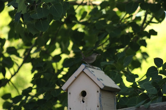 House wren with spider, Buffalo Pound, Saskatchewan