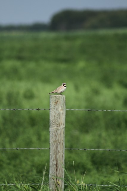 Horned lark on barbed wire, Saskatchewan