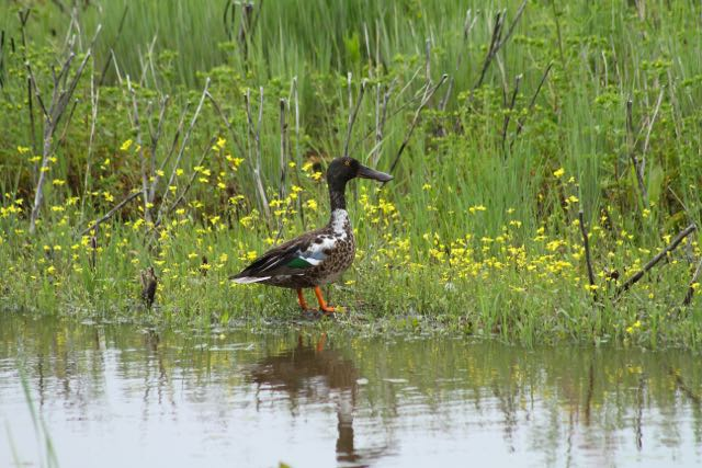 Northern Shoveler in grass with yellow flowers, Saskatchewan