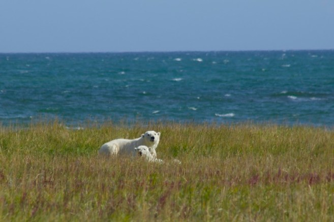 Polar Bear Mom and Cub Churchill Manitoba