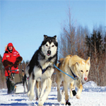 Sundogs running with musher and owner Brad Muir