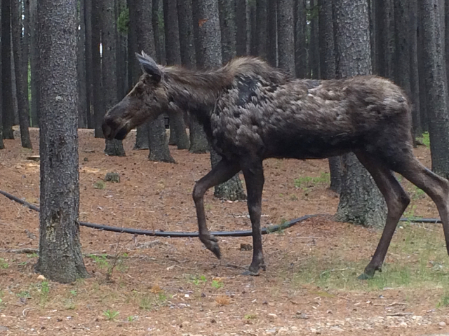 Young moose at Cypress Hills Provincial Park.