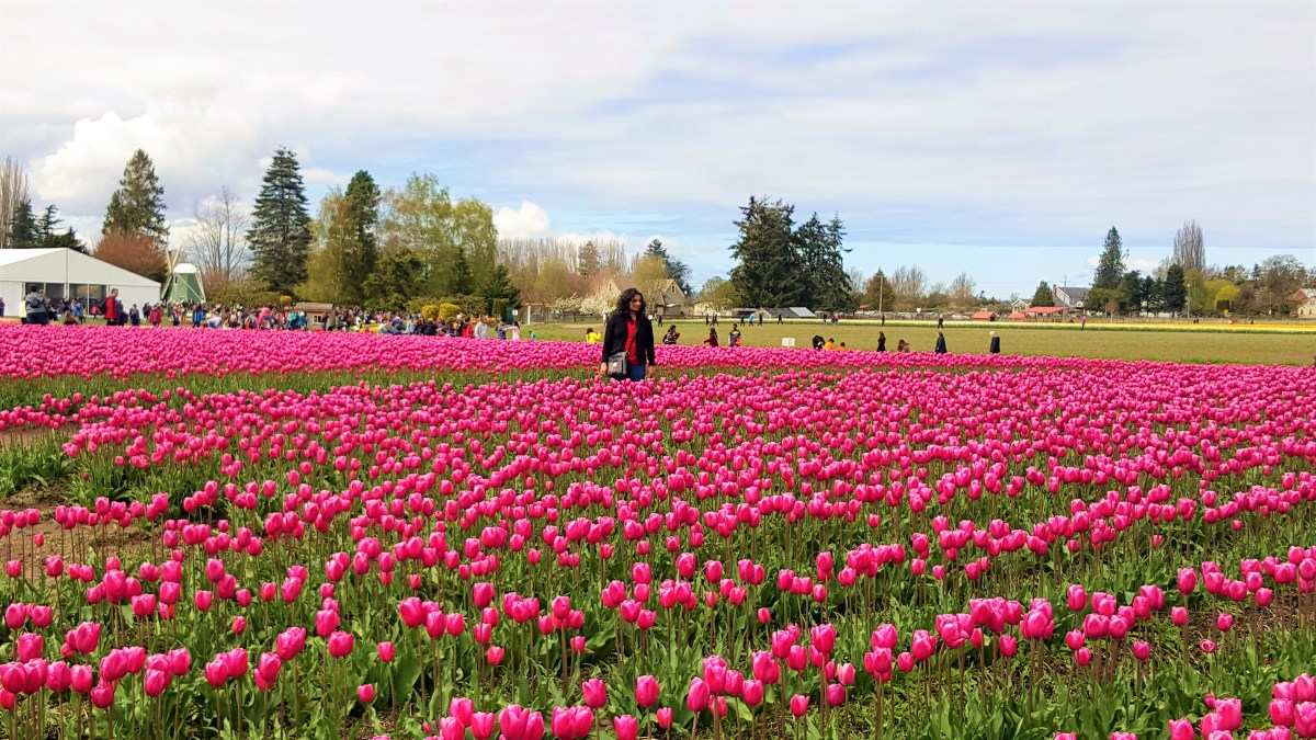 How to Visit Skagit Valley Tulip Festival 2019?