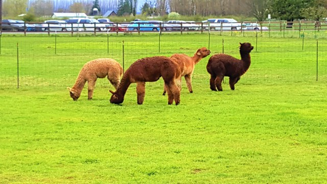 Alpacas or Llamas grazing in corner of  Tulip fields at RoozenGaarade