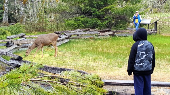 Sighting of Black tail deer at Trail of Shadows at Mount Rainier National Park. Easy Hikes and Road side attractions at Mount Rainier.