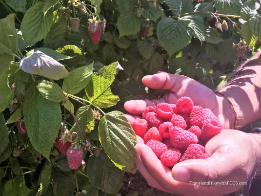 Fresh Raspberries from plants in field in Olymipics.