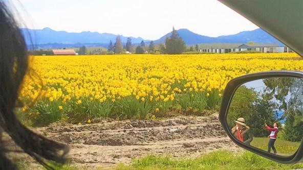 Daffodil field in Skagit Valley Mount Vernon, Washington.  Skagit Tulip Bloom Festival