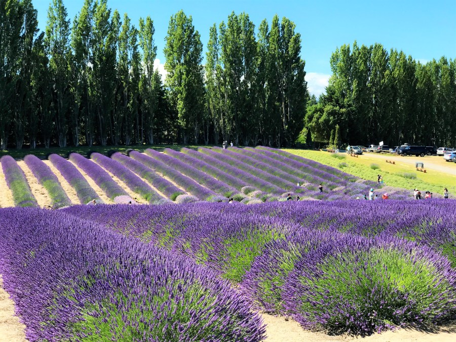 Panoramic view of Purple violet Lavender Fields in Sequim Washington