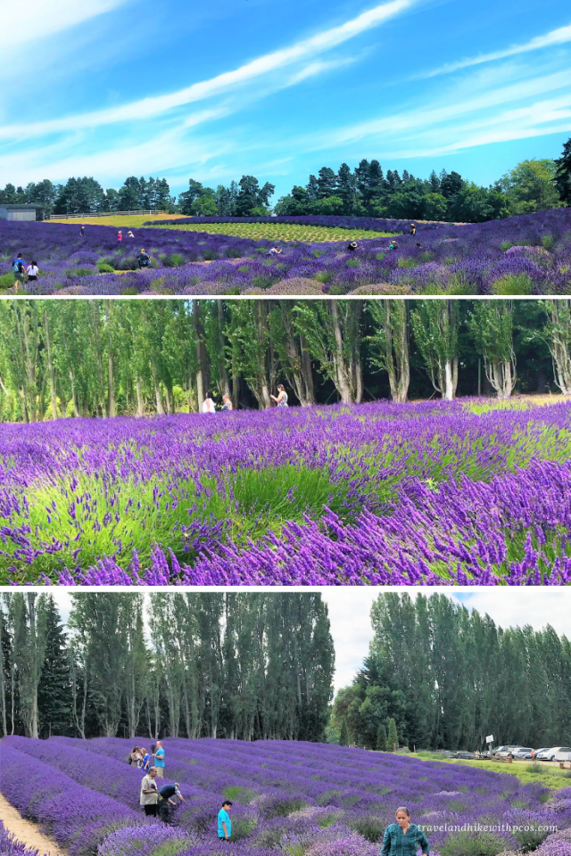 Washington Sequim Lavender Farms tour, Pick your own Lavender, Raspberries, Loganberries, black and blue berries. What to Expect at Sequim Lavender Festival?