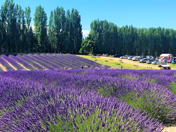 Beautiful Purple Haze Sequim Lavender field visit during Lavender Festival
