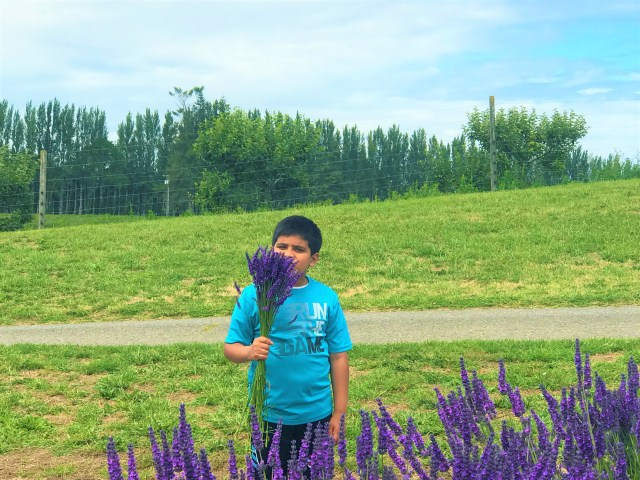 Lovely Aroma of fresh Lavender flowers at Sequim Lavender fields.  Things to do with children and family at Sequim Lavender Festival