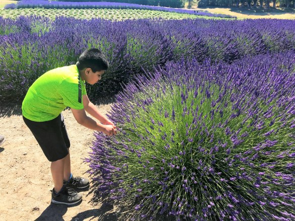 Kid picking up fresh Lavender from Field at Sequim Washington Lavender Farm
