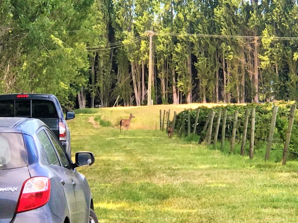 Mama and baby deer spotted at Lavender field in Sequim , Washington